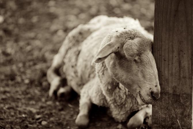 Album-Old-Sheep-Seven-1